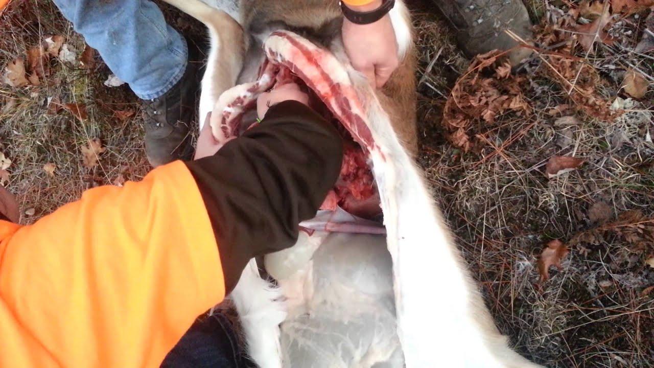gutting a deer