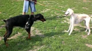 サラちゃん、ドーベルマンのお友達と遊びます。 大型犬はちょっと苦手み...