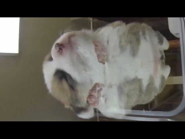 20141011 Part 7 cute puppy sleep on glass table / コーギー子犬 ガラステーブル お昼寝 cute baby dog 宙に浮くワンコ