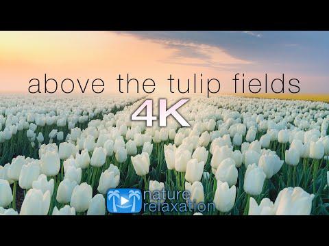 ABOVE THE TULIP FIELDS (4K) Holland Spring 2 HR Aerial Drone Film + Calming Music - Quarantine 2020