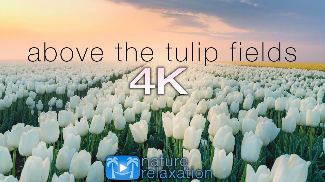 ABOVE THE TULIP FIELDS (4K) Holland Spring 2 HR Aerial Drone Film + Calming Music - Quarantine 2020