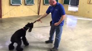 "Giant Schnauzer ""jura"" Obedience Protection Trained Dog For Sale"