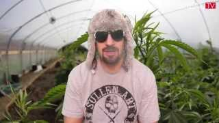 Strain Review w/ Dr GreenThumb - Alaskan Thunder Fuck | BREAL.TV