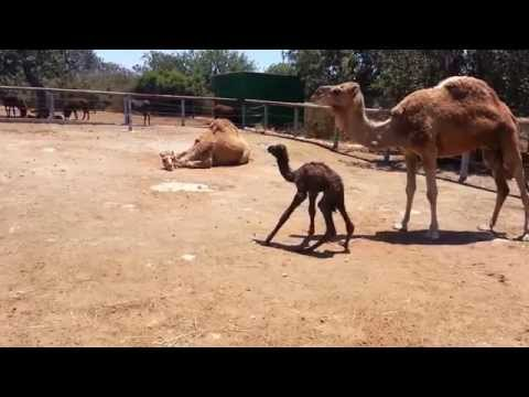 Baby Camel First Steps
