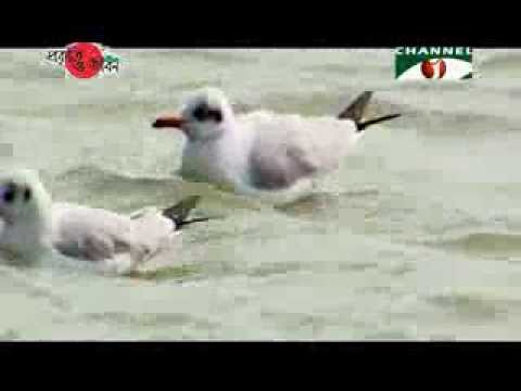 Nature and Life   Episode 149 (Gulls and Terns)