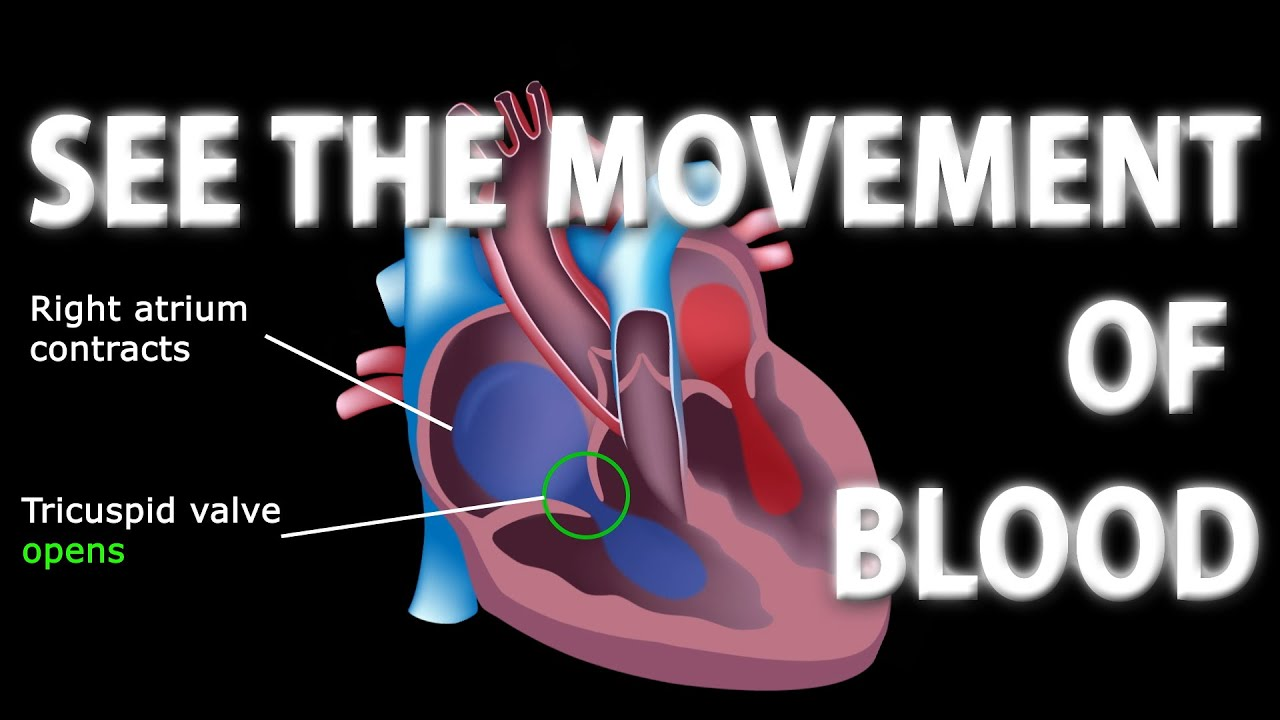 The Pathway Of Blood Flow Through The Heart Animated Tutorial Youtube