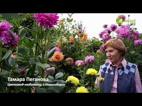 Уход за георгинами. Выращивание и выкопка георгин