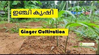 ഇഞ്ചി കൃഷി - Ginger cultivation