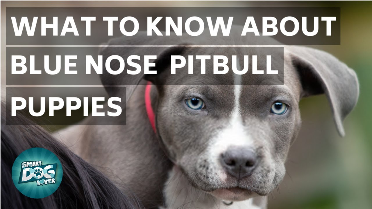 What to Know About Blue Nose Pitbull Puppies