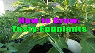 The Secret to Growing Phenominal Eggplants