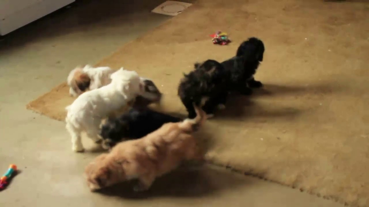 Miniature Poodle Mix Puppies For Sale Youtube