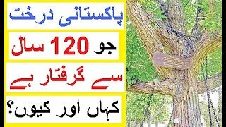 A Tree in Pakistan Locked in Chains from last 120 Years