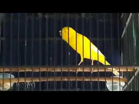 Download Lagu Kenari Standar Kecil Kuning Meri suara Kristal