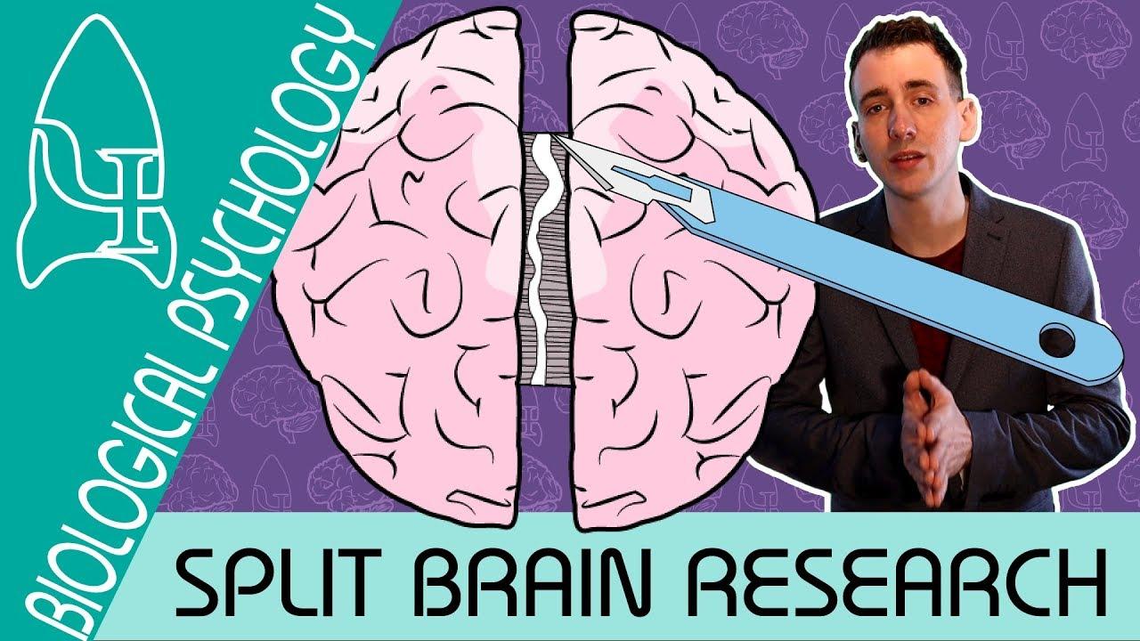 Split Brain Research – Biological Psychology  – Biological Psychology [AQA ALevel]