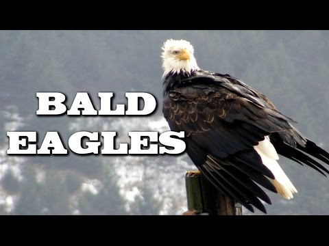 All About Bald Eagles For Kids: Animal Videos For Children   FreeSchool