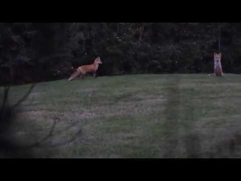 Red Fox Barking