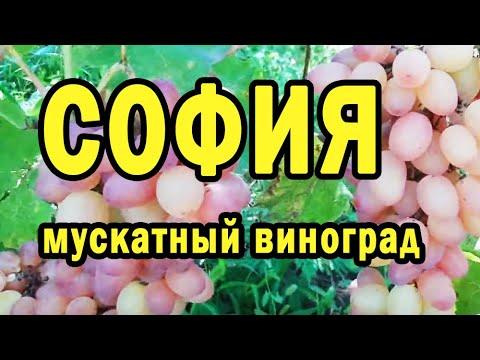 София мускатный виноград