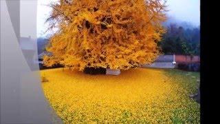 Золотое дерево Гинкго
