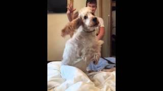Barney The English Cocker Spaniel  - Slow Motion