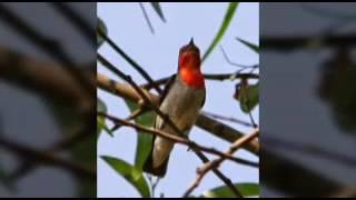 Suara burung cabe merah