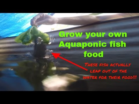 Sustainable Aquaponics: Grow your own Aquaponic fish food