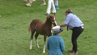 Merlod Mynydd Cymreig Eboles | Welsh Mountain Ponies Foal