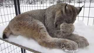 Max Canada Lynx Happy Thanksgiving