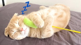 寝ている短足猫に大好きなオモチャを近づけてみた結果…w