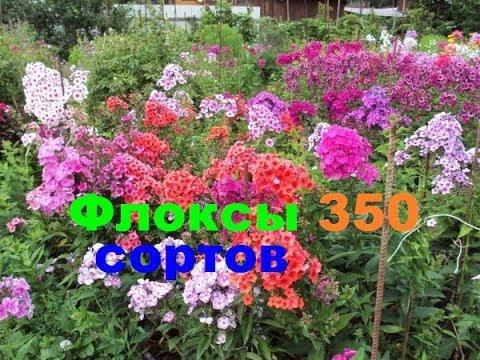 Флоксы 350 сортов