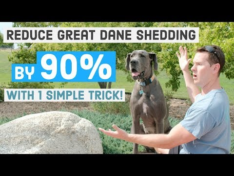 Best Tip to Reduce Great Dane Shedding