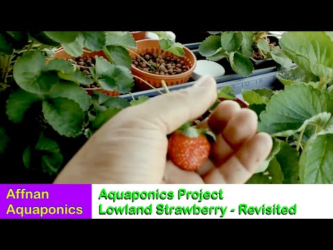 Lowland Strawberry Project Revisited - Affnan's Aquaponics