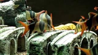 Clown Loaches in 200 Gallon Home Aquarium