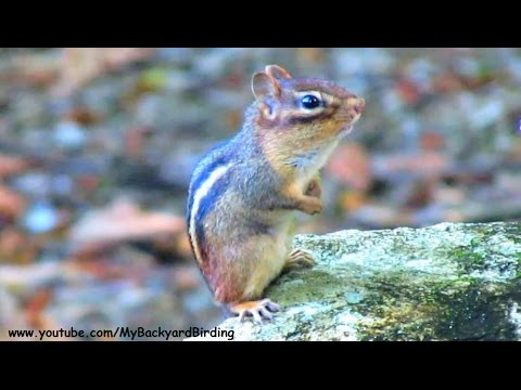 Chipmunk Cluck Cluck Wood Knocking Sounds