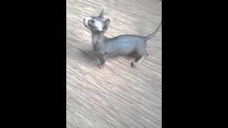 БАМБИНО кошки Bambino cat