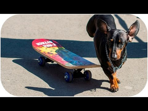 Doxie Din tricks learning vol.2: Skateboarding| Dog training video