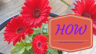 Gambar cover HOW TO GROW GERBERA DAISY FROM SEEDS INDOOR