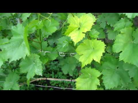 Хлороз винограда  Как приготовить лекарство