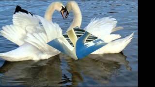 Рок Острова Два белых лебедя