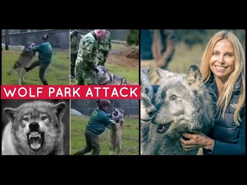 Wolf Park Attack Woman Fights Off Wolf That Bites Man