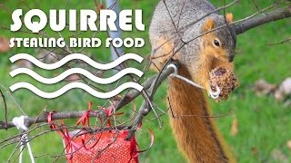Entertainment Video For Cats. Squirrel Stealing Bird Food!