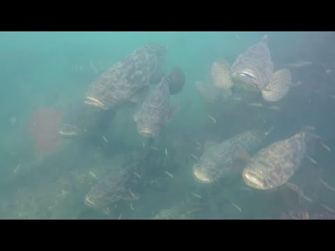 Giant Fish Taking Over? - Goliath Grouper