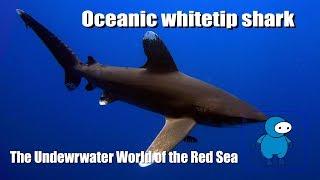 Белоперая океаническая акула. Длиннокрылая акула. Лонгиманус. Oceanic whitetip shark