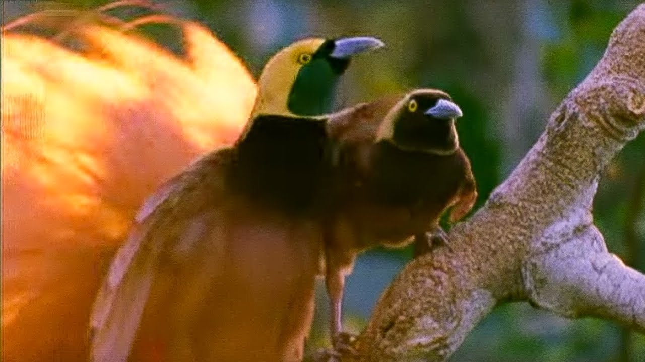 Birds of Paradise Mating Dance | Battle of the Sexes | BBC Earth
