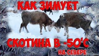 Как зимует домашний скот и животные в -50'С и ниже