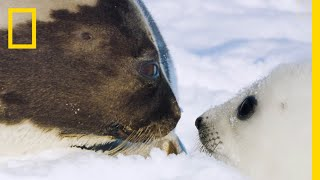 The Harp Seal's Race Against Time  Ep. 5 | Wildlife: The Big Freeze