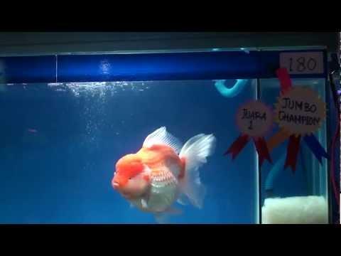 Jumbo Champion Of Indonesia Goldfish Society