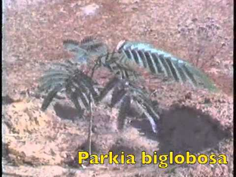 1988-12 BURKINA FASO - Reboisement à Arbolle