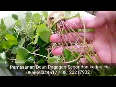 daun pegagan herbal tea