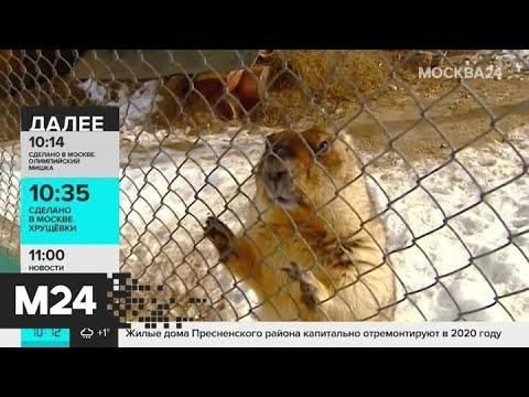 Сурки из Московского зоопарка проигнорируют День сурка - Москва 24