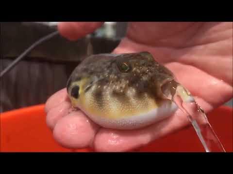 Puffer Fish Succ